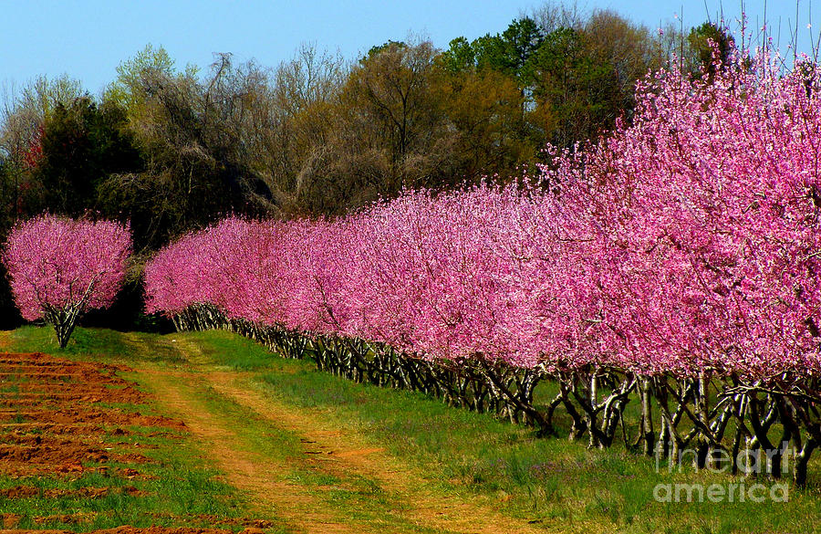 Peach Orchard In Carolina Photograph