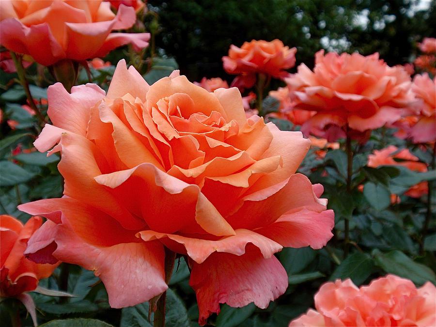 Peach Roses Photograph