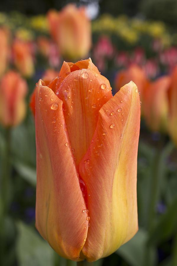 Tulip Photograph - Peach Tulip by Priya Ghose