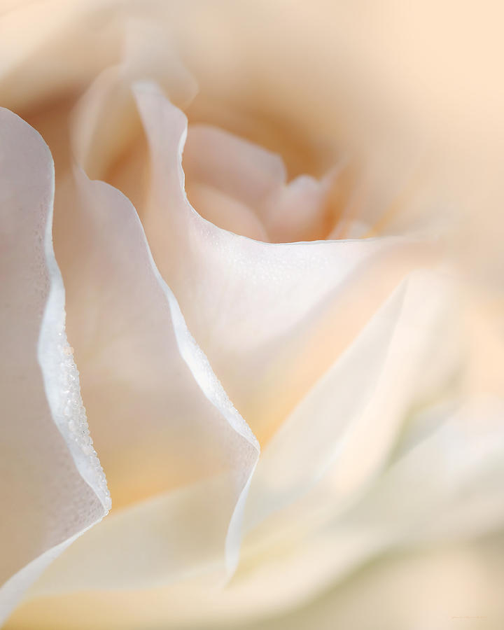 Peaches And Cream Rose Flower Photograph