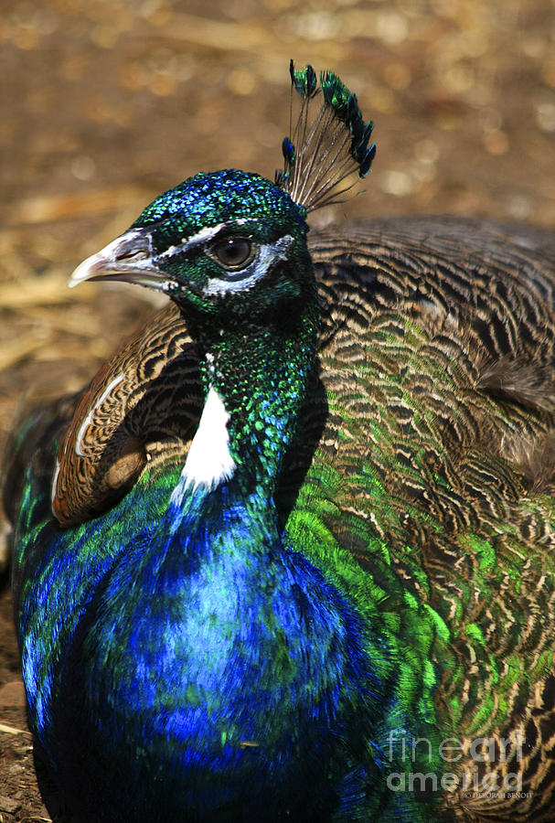 Peacock Blue Photograph