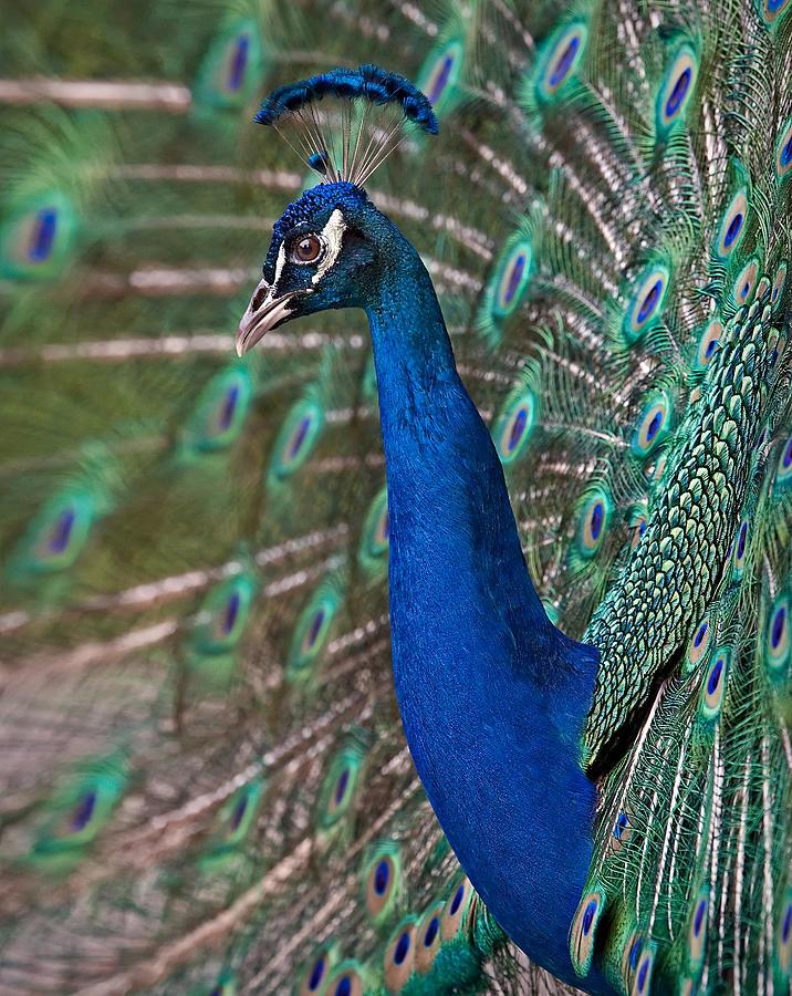 Peacock Photograph - Peacock Display by Susan Candelario