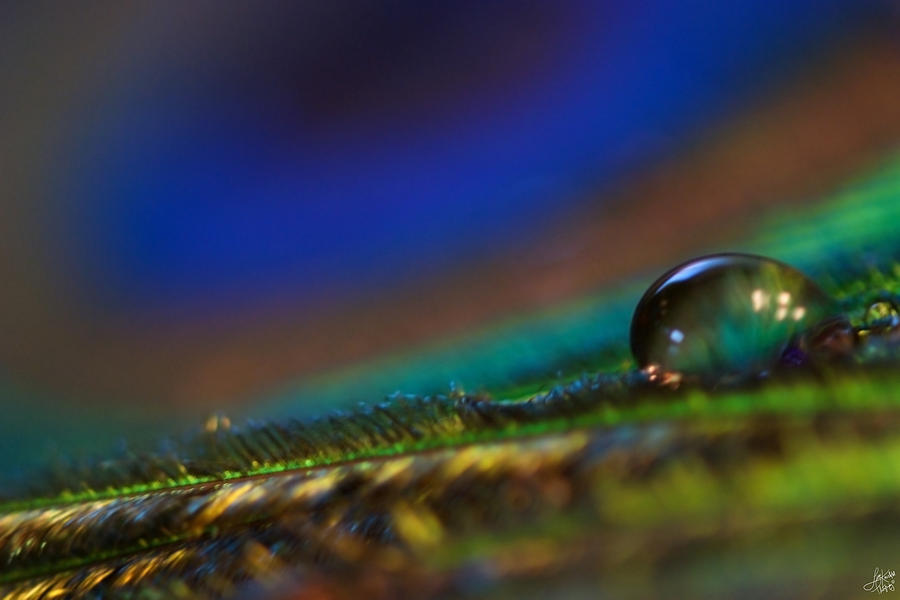 Peacock Drop Photograph