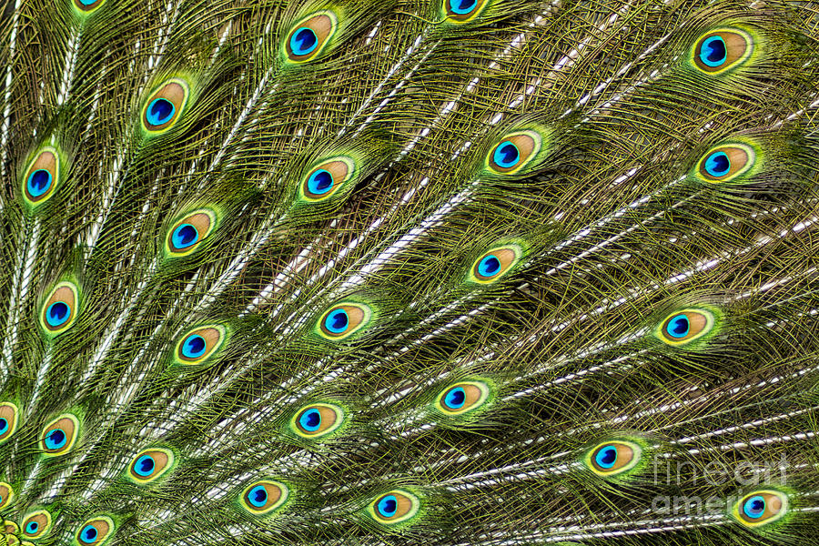 Peacock Feather Abstract Pattern Photograph  - Peacock Feather Abstract Pattern Fine Art Print
