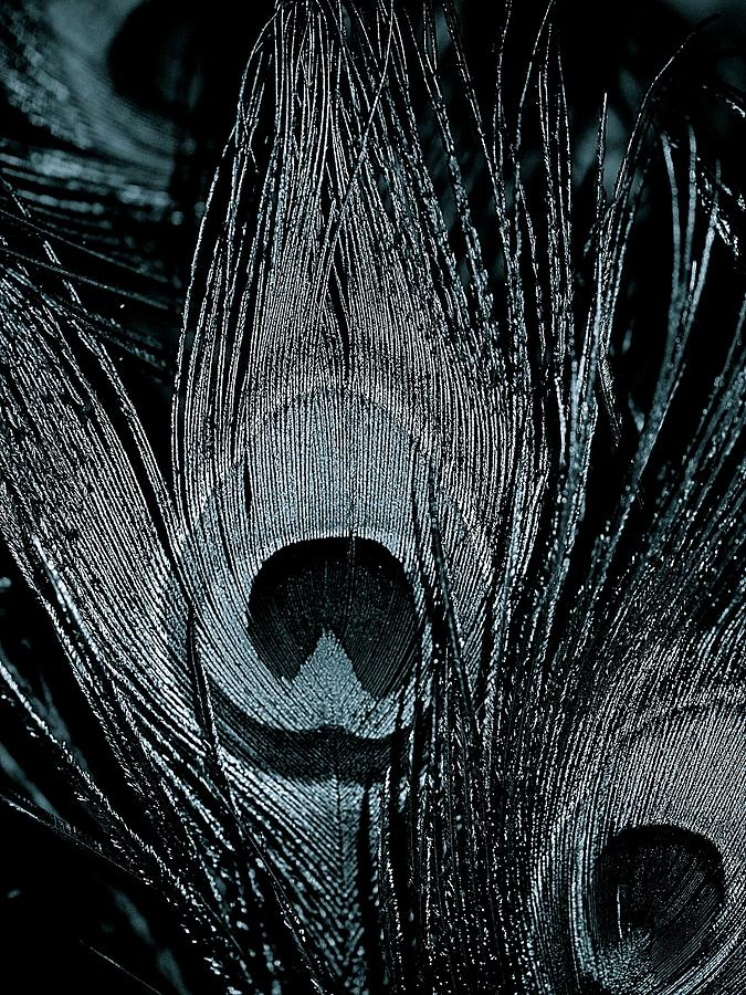 Peacock Feathers Black And White Photograph by Lisa Telquist
