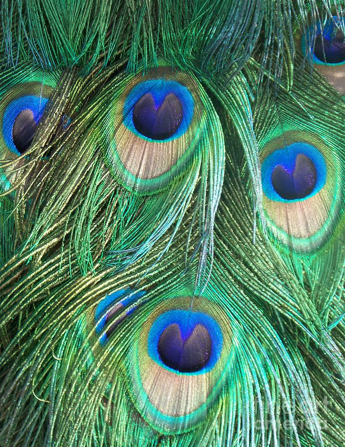 Peacock Feathers Blue And Green Photograph by Eric Schiabor