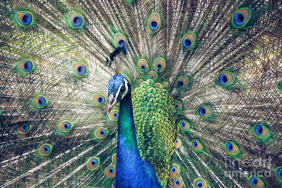 Peacock Indian Blue Photograph