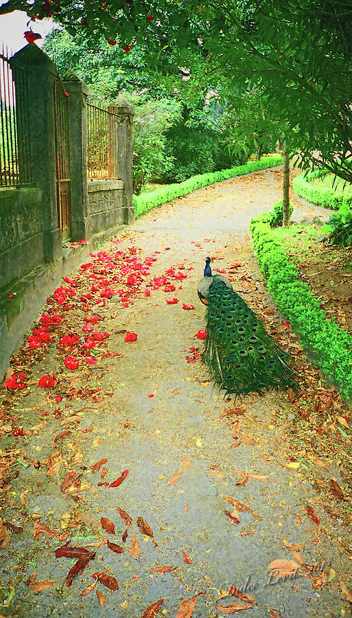 Bird Photograph - Peacock Path A by Dulce Levitz