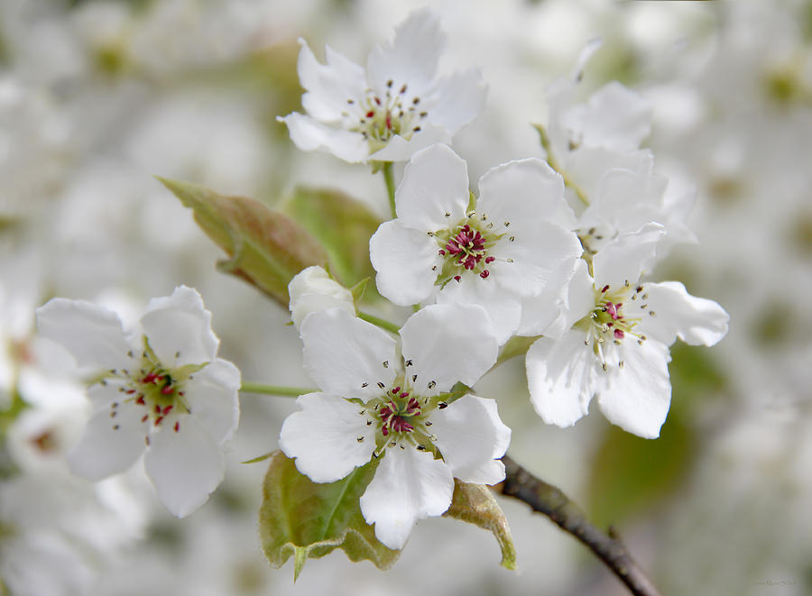 Pear Tree Blossom Photograph - Pear Tree White Flower Blossoms by Jennie Marie Schell