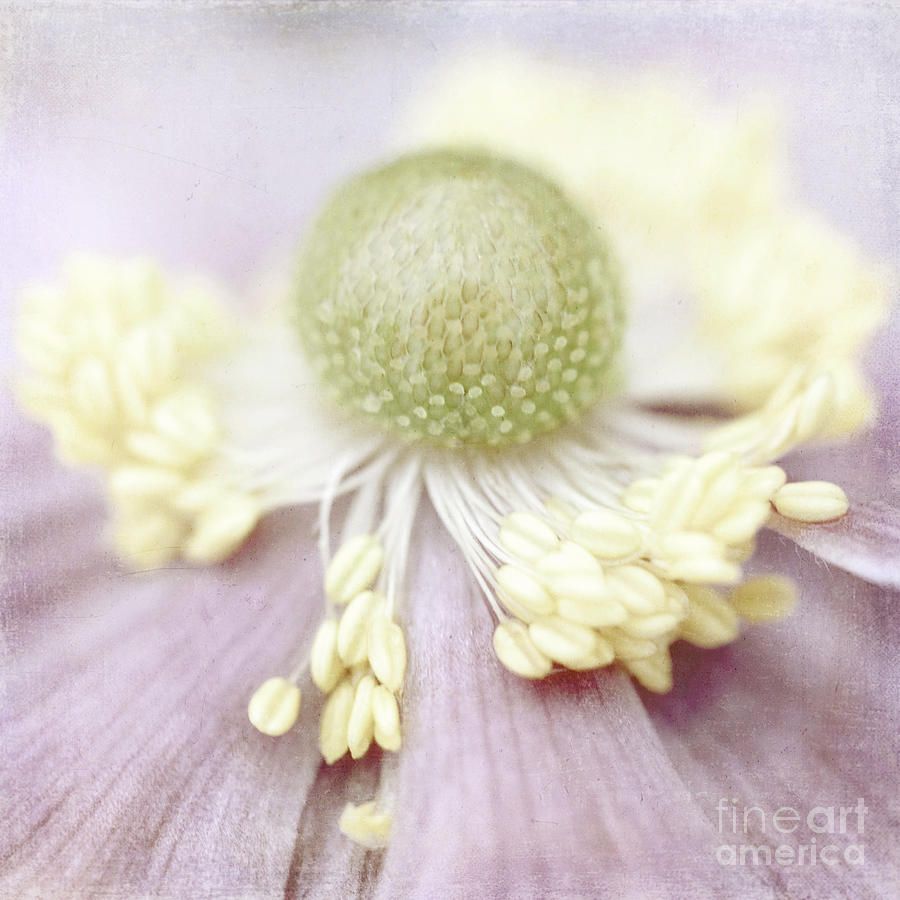 Anemone Photograph - Pearl by Uma Wirth