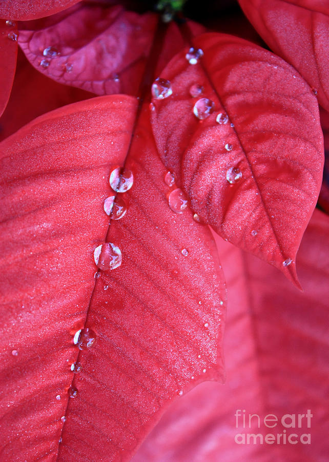 Poinsettia Photograph - Pearls On Poinsettia by Carol Groenen