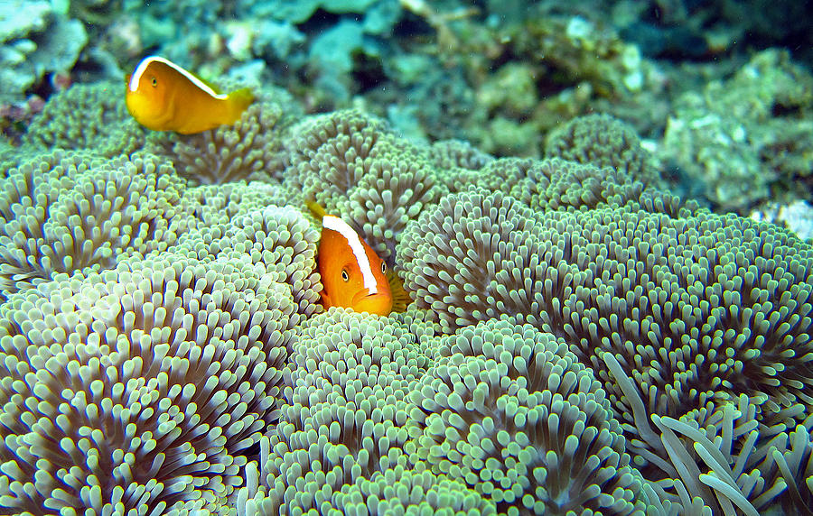 Peekaboo Clownfish Photograph