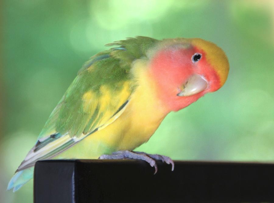 Peeking Peach Face Lovebird Photograph