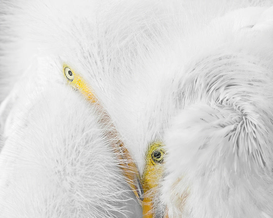 Peering Thru Feathers Photograph