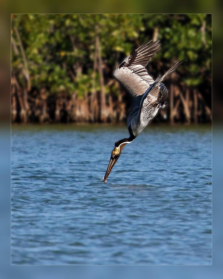 Pelican Dive Photograph