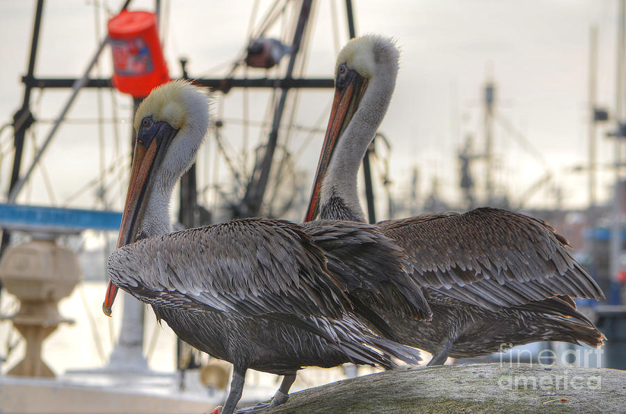 Pelican Duo Photograph