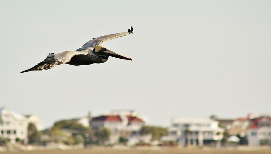 Pelican Flying Over Murrells Inlet Photograph