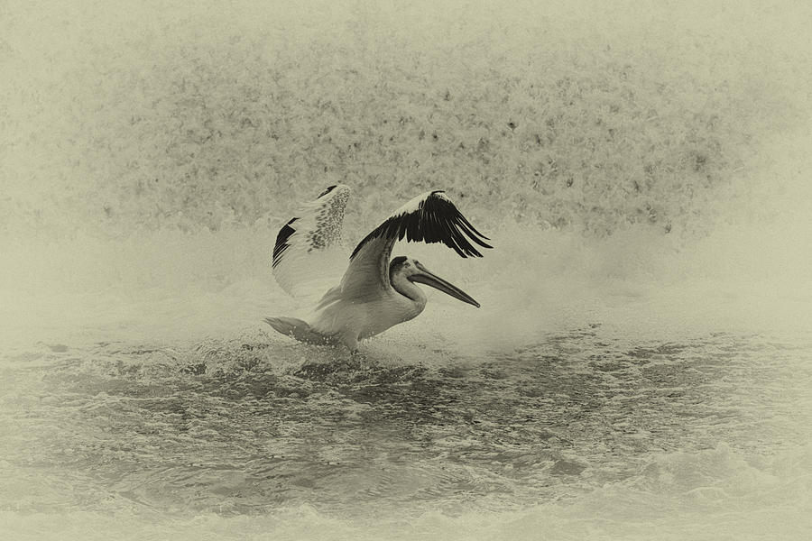 Pelican Landing In Black And White Photograph