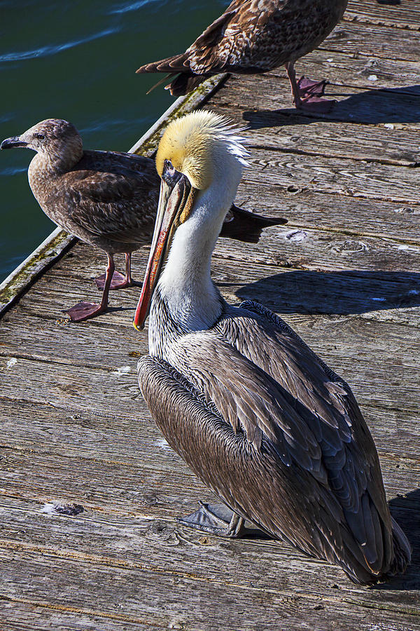 Pelican On Dock Photograph