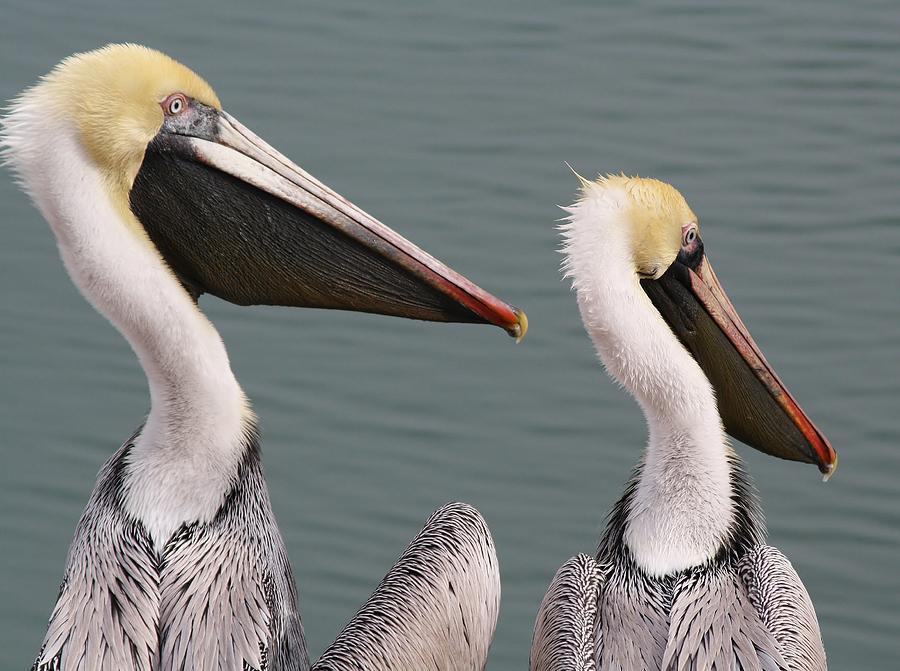 Pelican Pair Photograph