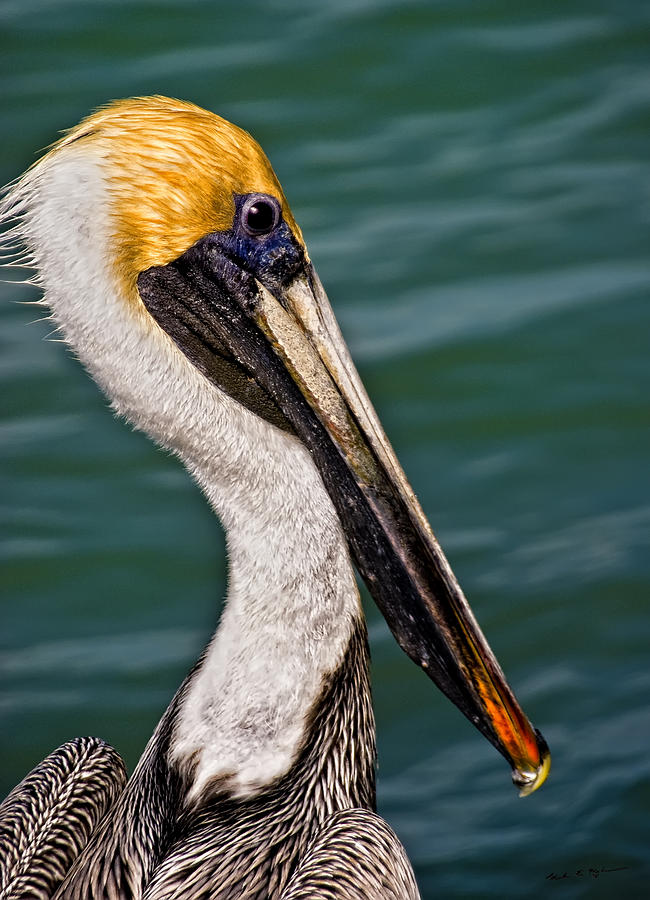 Pelican Profile No.40 Photograph