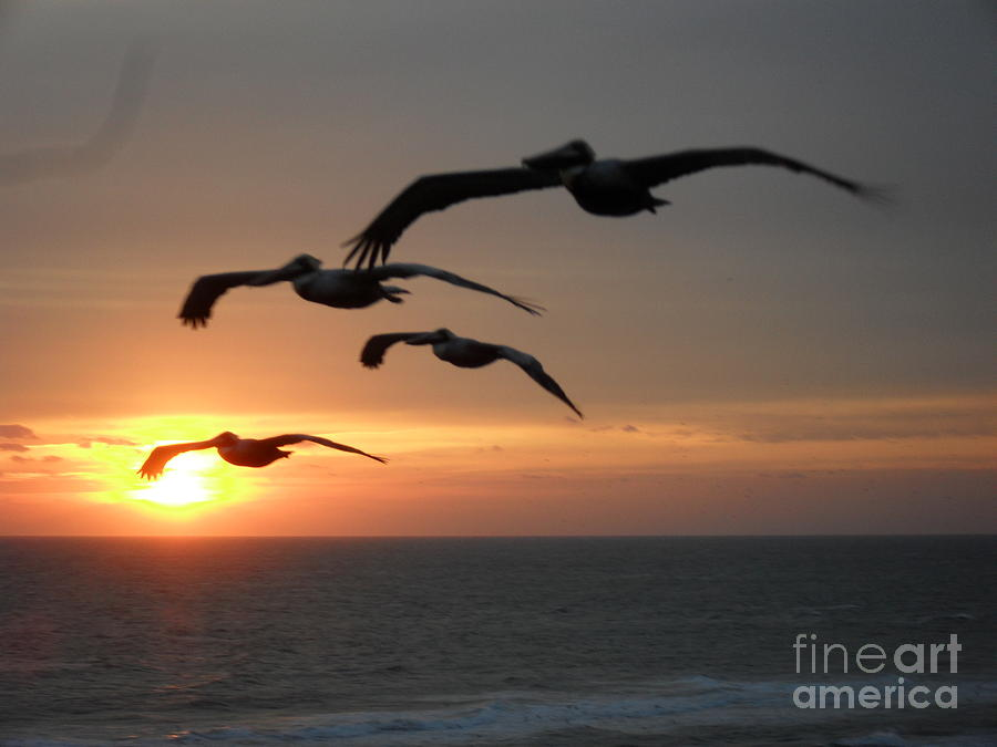 Pelican Sun Up Photograph
