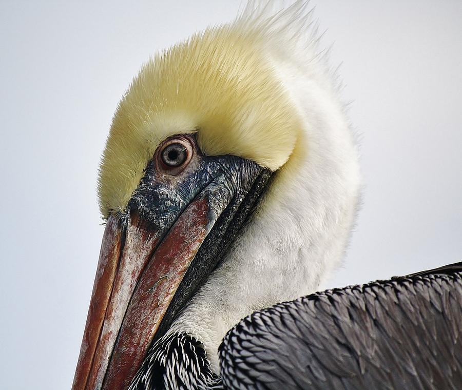 Pelican Up Close And Personal Photograph