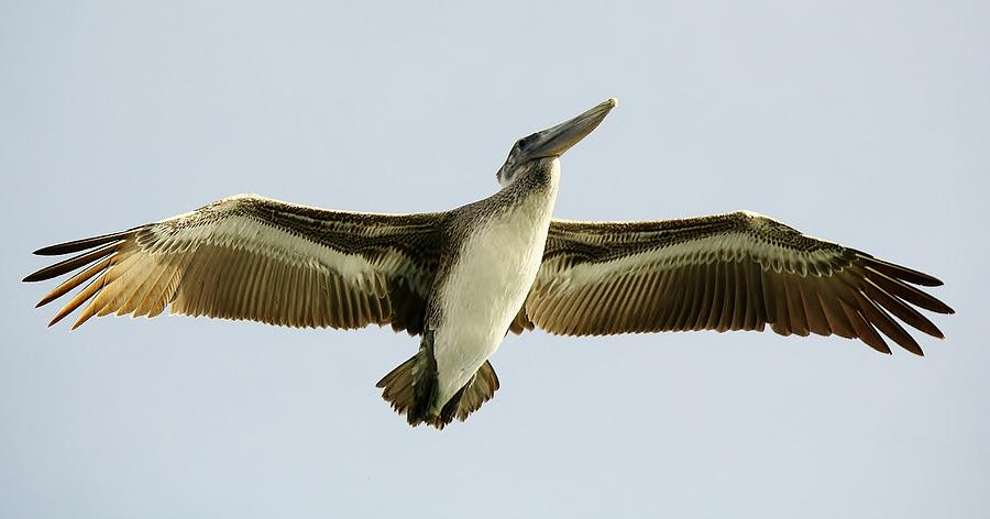 Pelican Wing Span Photograph