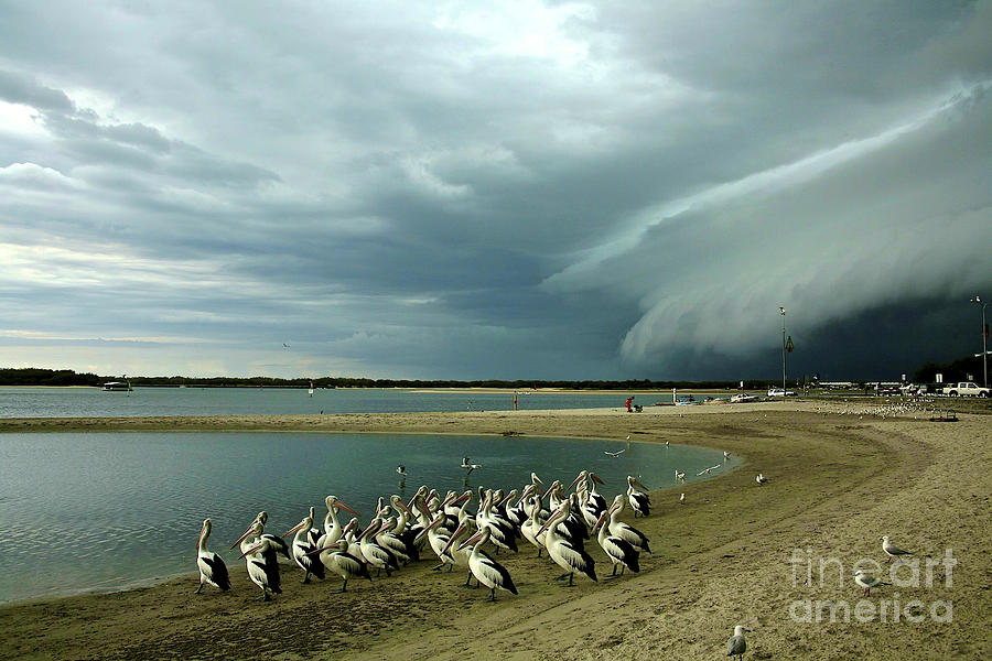 Pelicans Before The Storm Photograph