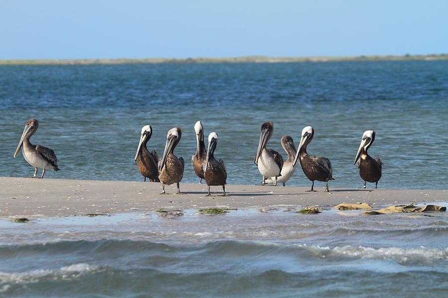 Pelicans Of Bird Island 7 Photograph