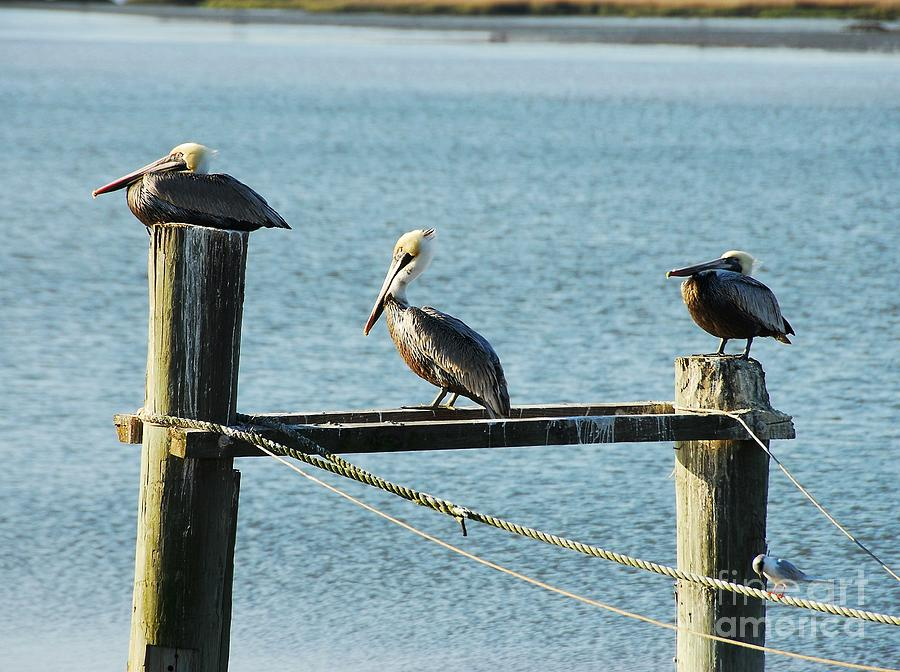 Pelicans On A Break Photograph  - Pelicans On A Break Fine Art Print
