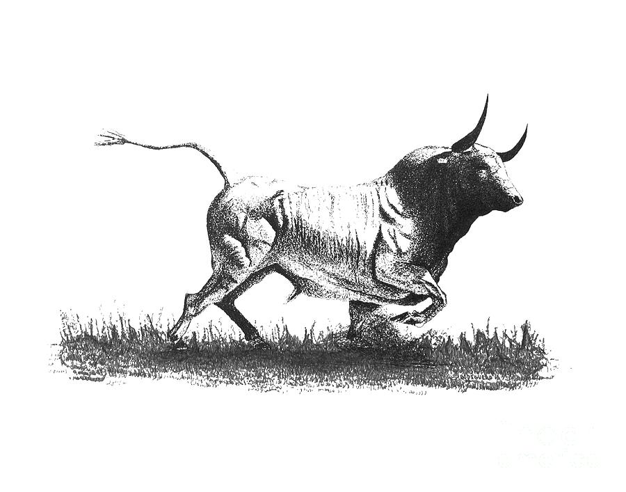 Pen And Ink Drawing Of Bull In Black And White Drawing