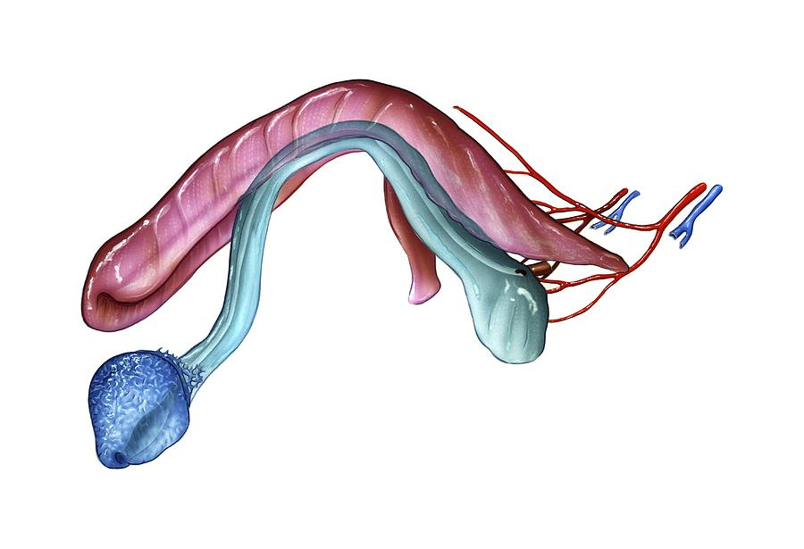 Anatomy of pennis