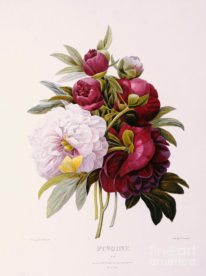 Peony; Flower; Flowers; Pink; White; Botanical Painting - Peonies Engraved By Prevost by Pierre Joseph Redoute