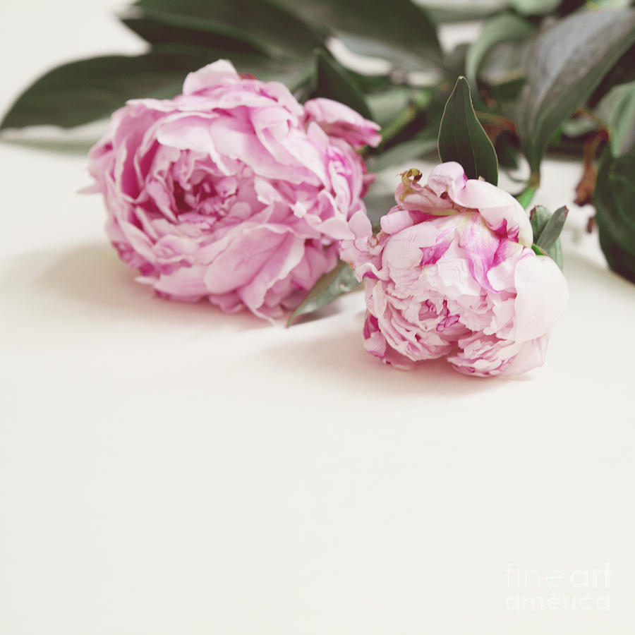 Peonies Love Photograph  - Peonies Love Fine Art Print