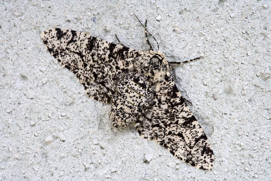 Peppered Moth Photograph  - Peppered Moth Fine Art Print