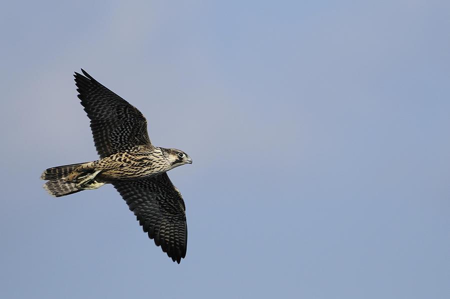 Peregrine Falcon Flying Photograph by Bradford Martin