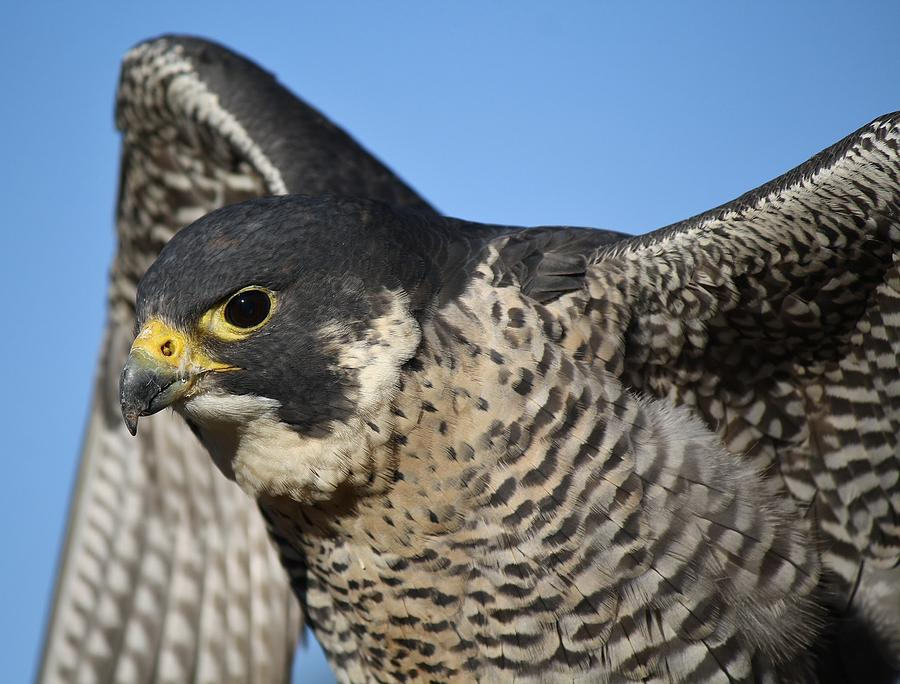 Peregrine Falcon Up Close Photograph