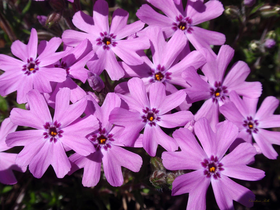 Perennial Flowers - Phlox Photograph