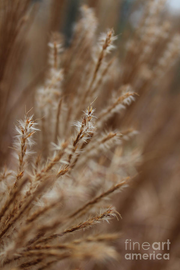 Ornamental Grass Photograph - Perennial Grass by Arlene Carmel