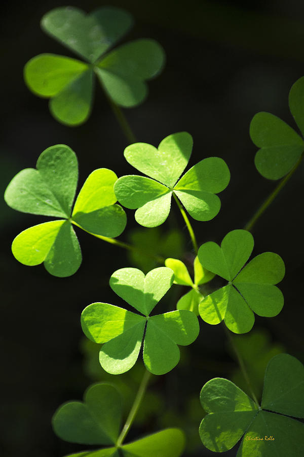 Perfect Green Shamrock Clovers Photograph