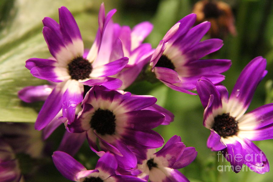 Pericallis 3 Photograph  - Pericallis 3 Fine Art Print