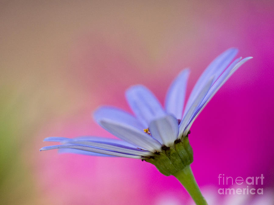 Pericallis Colors Photograph  - Pericallis Colors Fine Art Print