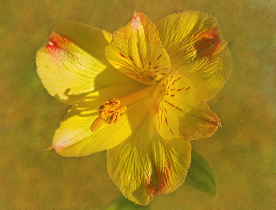Lily Of Peru Photograph - Peruvian Lily by Sandi OReilly
