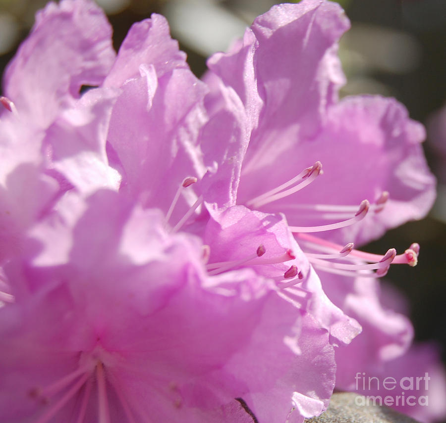 Petal Pink By Jrr Photograph