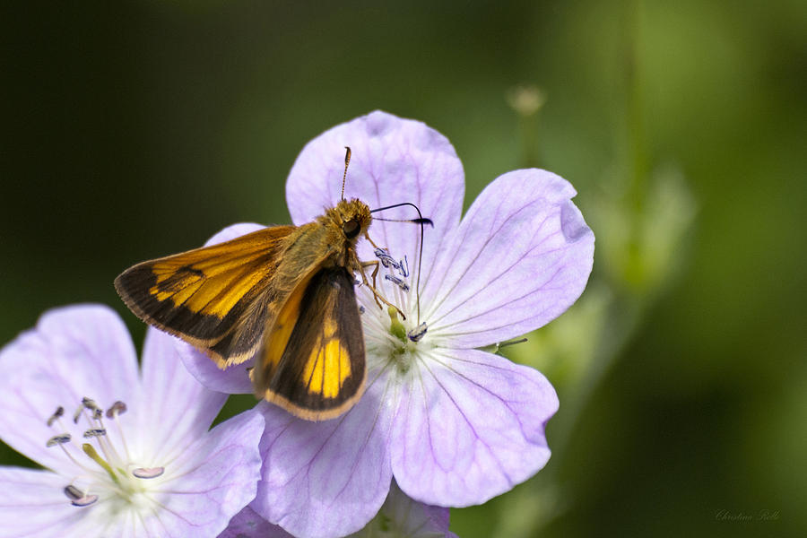 Butterfly Photograph - Petal To Petal by Christina Rollo