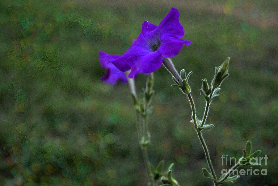 Petunia Botanical Study Macro Photograph