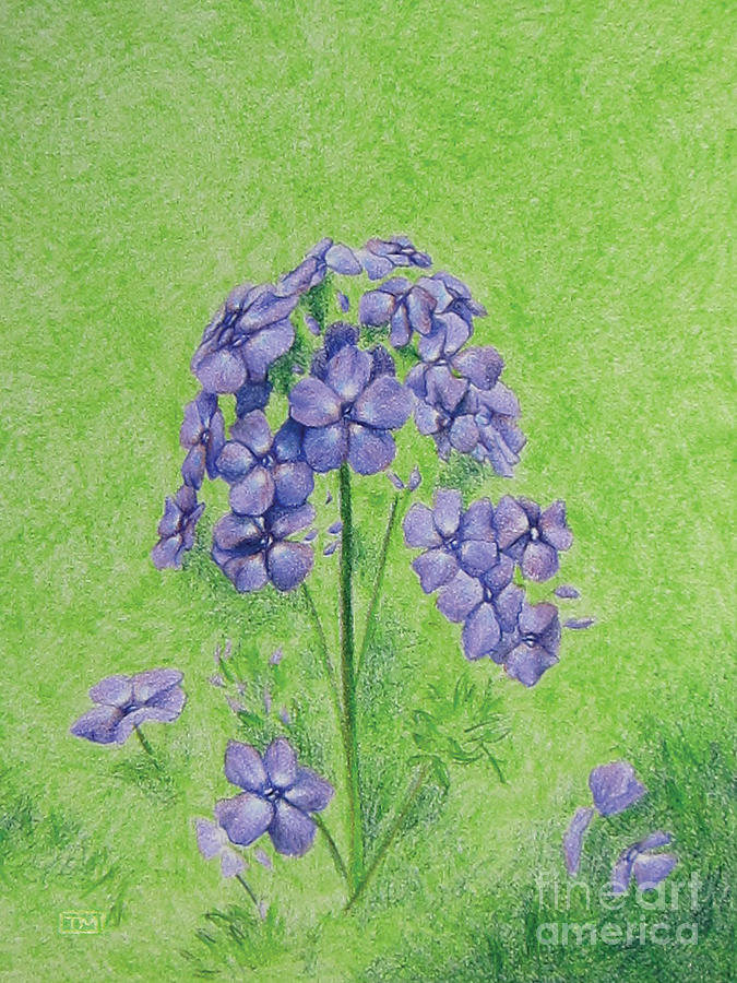 Phlox Drawing  - Phlox Fine Art Print