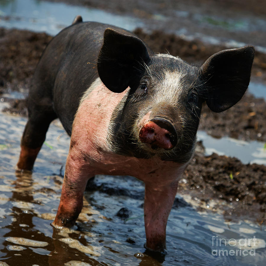 Pig In The Mud Photograph