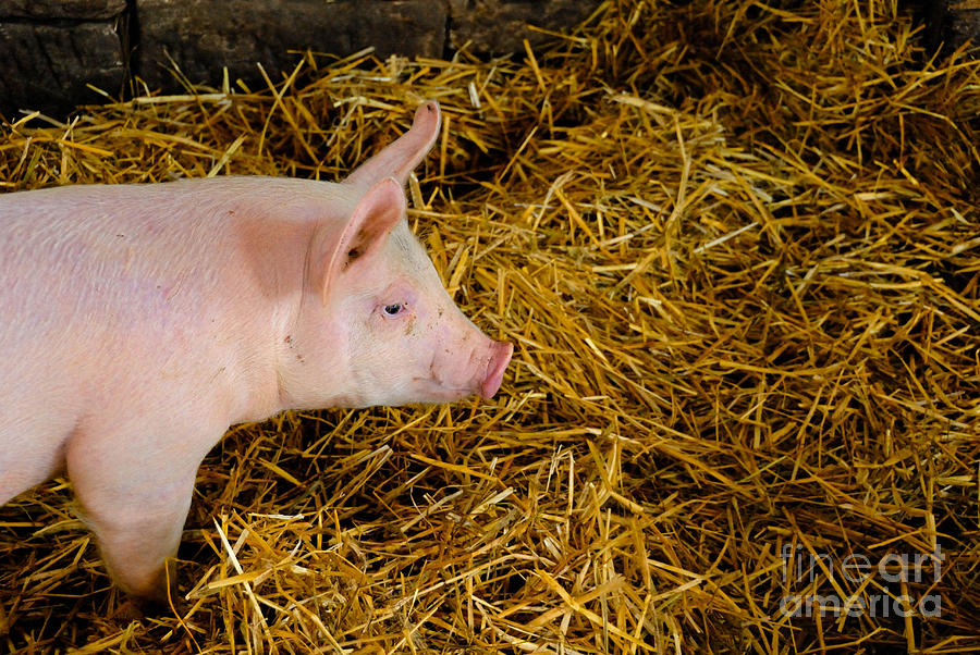 Pig Standing In Hay Photograph